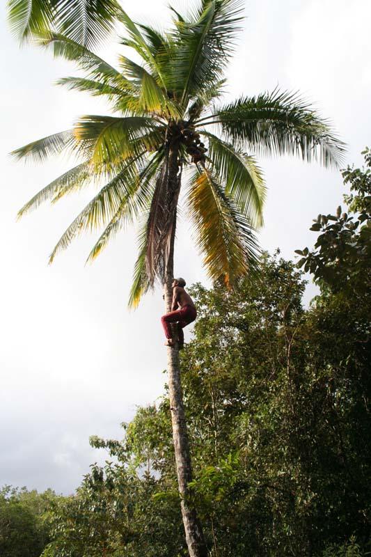 Seberapa tinggi pohon kelapa bisa tumbuh?