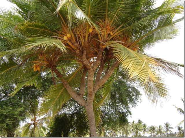 http://akusuka.files.wordpress.com/2007/11/special-coconut-tree-thumb.png